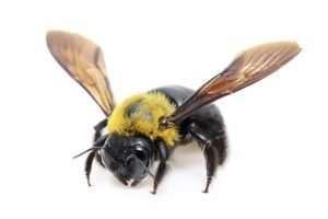 carpenter bees pests